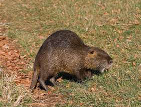 Nutria Attractants