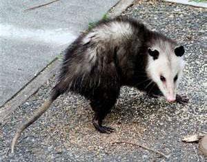 Opossum Snares
