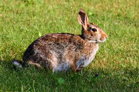 Rabbit Attractants