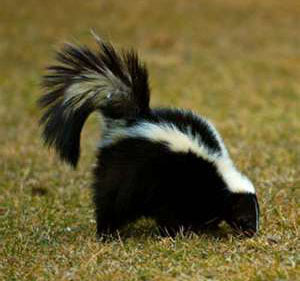 Skunk Attractants